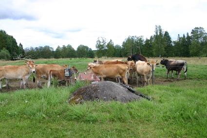 Nyfikna kvigor och tjurar